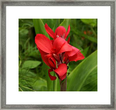 Canna Framed Print by Sandy Keeton