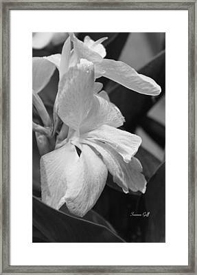 Cannas Amarillo In Black And White Framed Print by Suzanne Gaff