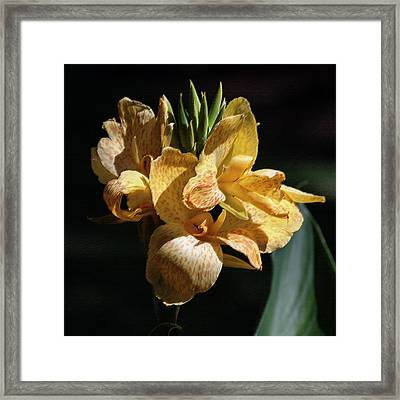 Cannas Amarillo Squared Framed Print by Suzanne Gaff