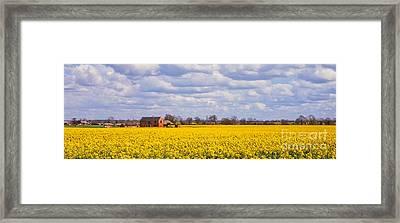 Canola Field Framed Print by John Edwards