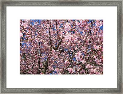 Canvas Of Pink Blossoms Framed Print by Carol Groenen