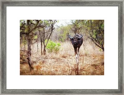 Cape Buffalo In Kruger National Park Framed Print by Susan Schmitz