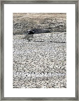 Cape Buffalo Lying In Mud Framed Print by Susan Schmitz