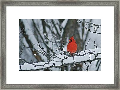 Cardinal And Snow Framed Print by Michael Peychich
