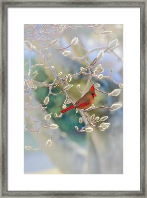 Cardinal In The Pussy Willows Framed Print by Tom York Images