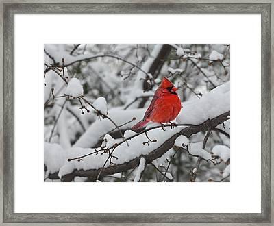 Cardinal In The Snow 1 Framed Print by Robert Ullmann