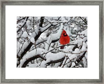 Cardinal In The Snow 2 Framed Print by Robert Ullmann