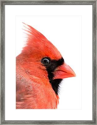 Male Cardinal Portrait Framed Print by Jim Hughes