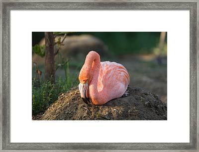 Caribbean Flamingo Phoenicopterus Ruber Framed Print by Joel Sartore