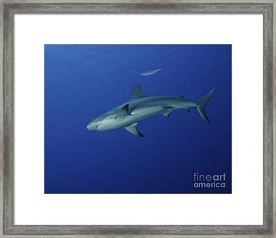 Caribbean Reef Shark, West Caicos Framed Print by Brent Barnes