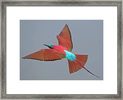 Carmine Bee-eater In Flight Framed Print by Johan Elzenga