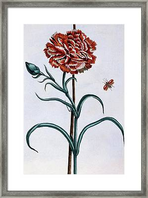 Carnation Framed Print by Pierre-Joseph Buchoz