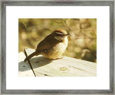 Carolina Wren Framed Print by Amy Tyler