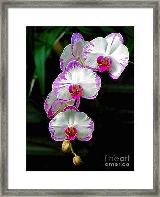 Cascading Orchid Beauties Framed Print by Sue Melvin