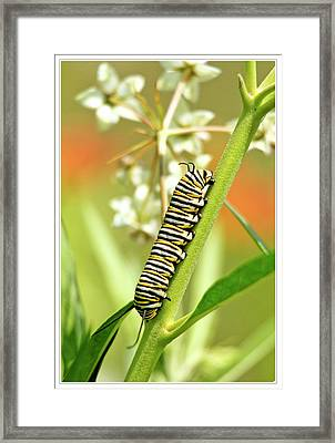 Caterpillar On Milkweed Plant Framed Print by Geraldine Scull