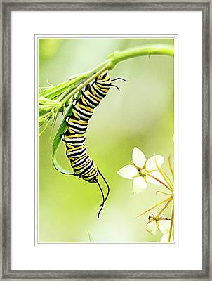 Caterpiller On Plant Framed Print by Geraldine Scull