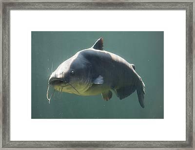 Catfish Framed Print by Jonathan Kotinek