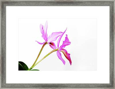Cattleya Guatemalensis Framed Print by Charline Xia
