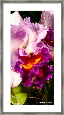 Cattleya IIi Framed Print by Christopher Holmes