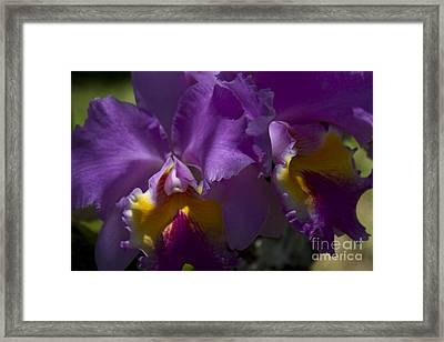 Cattleya Orchid Garden Of Eden Maui Framed Print by Sharon Mau