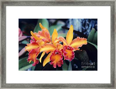 Cattleya Orchids Framed Print by Allan Seiden - Printscapes
