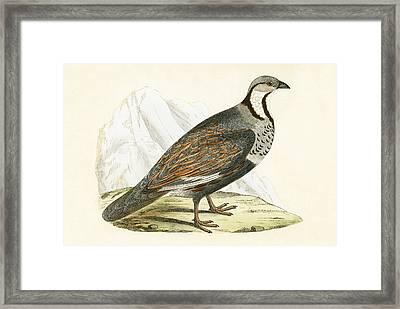 Caucasian Snow Partridge Framed Print by English School