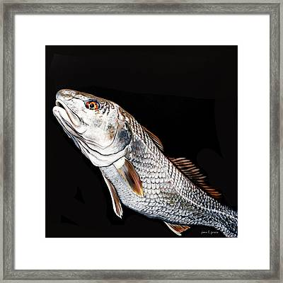 Caught In The Surf Redfish Framed Print by Joan Garcia