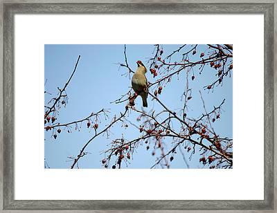 Cedar Wax Wing Framed Print by Gerald Salamone