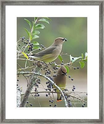 Cedar Wax Wings Framed Print by Lizi Beard-Ward