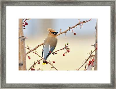 Cedar Waxwing Framed Print by Betty LaRue