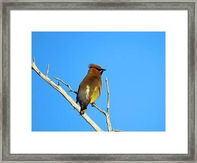 Cedar Waxwing Framed Print by Dianne Cowen