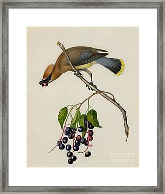 Cedar Waxwing Framed Print by Celestial Images