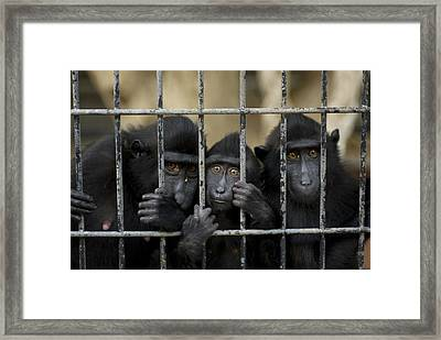 Celebes Macaques Macaca Nigra Sadly Framed Print by Joel Sartore