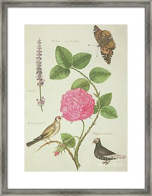 Centifolia Rose, Lavender, Tortoiseshell Butterfly, Goldfinch And Crested Pigeon Framed Print by Nicolas Robert