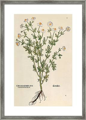 Chamomile Framed Print by Leonhart Fuchs