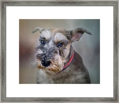 Charlie - Dog Portrait - Schnauzer Framed Print by Nikolyn McDonald
