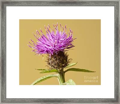 Charming Cornflower Framed Print by Donald Davis