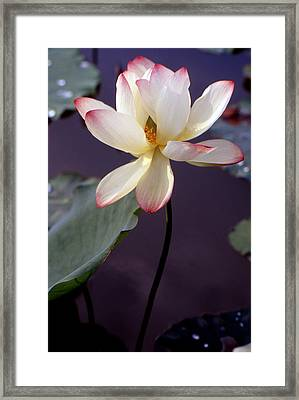 Charming Lotus Framed Print by Lian Wang
