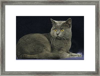 Chartreux Cat Framed Print by Gerard Lacz