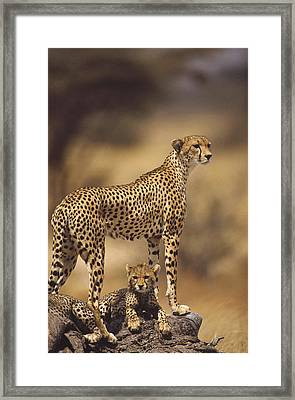 Cheetah Acinonyx Jubatus Mother With Framed Print by Gerry Ellis