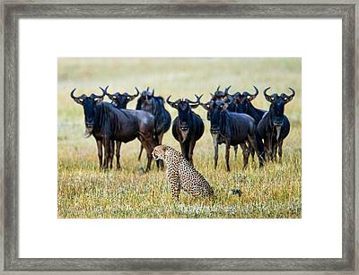 Cheetah Acinonyx Jubatus With Blue Framed Print by Panoramic Images