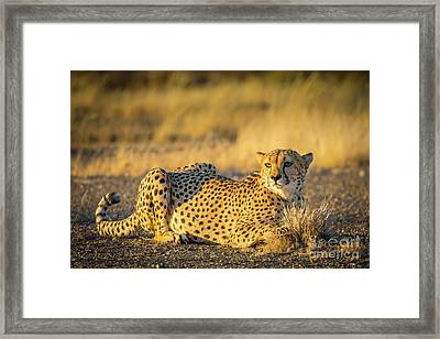 Cheetah Portrait Framed Print by Inge Johnsson