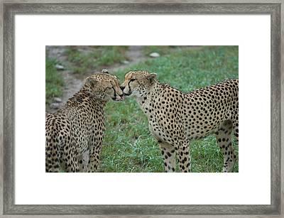 Cheetahs Acinonyx Jubatus At The Sunset Framed Print by Joel Sartore