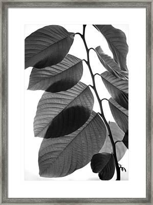 Chermoya Foliage Framed Print by Nathan Abbott