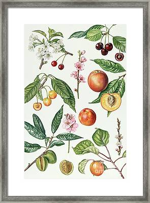Cherries And Other Fruit-bearing Trees  Framed Print by Elizabeth Rice