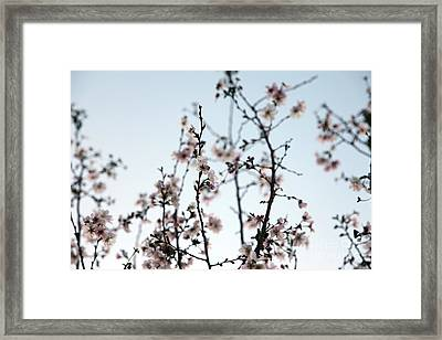 Cherry Blossom Framed Print by Amanda Barcon