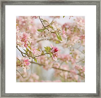 Cherry Blossom Delight Framed Print by Kim Hojnacki