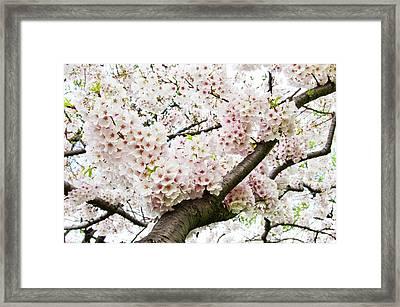 Cherry Blossom Framed Print by Sky Noir Photography by Bill Dickinson