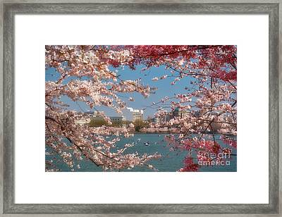 Cherry Blossoms On The Edge Of The Tidal Basin Three Framed Print by Susan Isakson