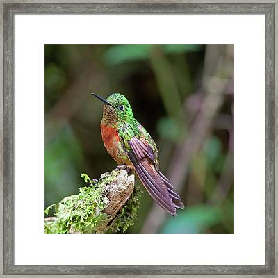 Chestnut-breasted Coronet Framed Print by Photography by Jean-Luc Baron
